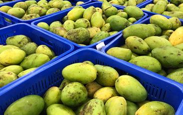 収穫されたマンゴー