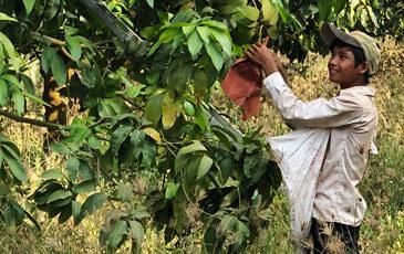 マンゴーを収穫するカンボジアの子供