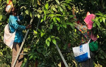カンボジアの農園の人々