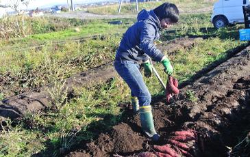 """""""北海道では、若手の農家さんが美味しいさつまいも作りに取り組んでいます"""""""