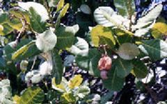 うるし科の熱帯性植物
