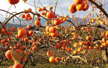 ドライ富有柿