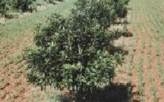 マカダミアナッツの木