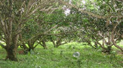 マンゴー農園